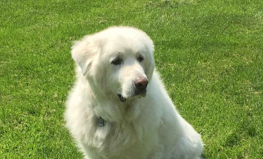 Can Great Pyrenees Be Off Leash