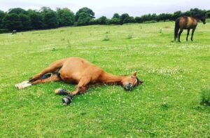How Long Can A Horse Lay Down